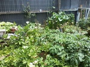 Seeding Lettuce Peeps Over Potato Plants