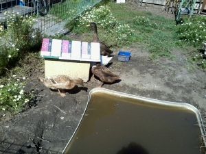 Ducks, uneffected by menacing demands, wonder when someone's going to clean out their pond