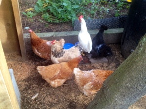 Introducing Jolene (L), Ida (white), Kiki (black) and the three Nikkis; five more days seclusion before they join the flock.