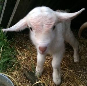 goatbabies2