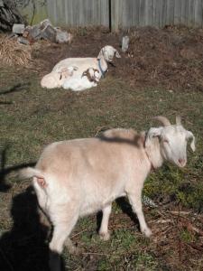 Goats 009