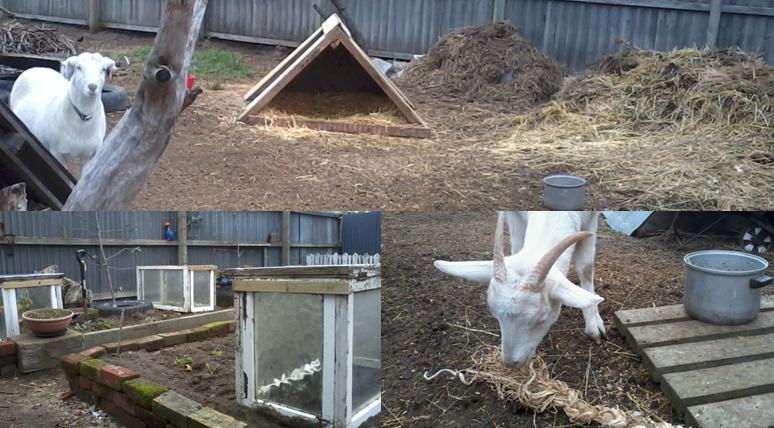 goats 'n garden