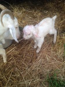 goatbabies5
