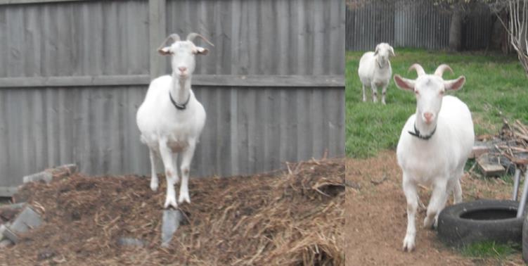 goatssept15