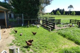chickens oct19