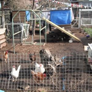 chickens UnionSt